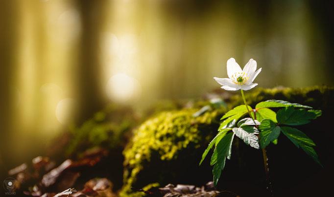 anemone nemorosa | 201504 • www.visovio.de •  soulfood, wasblühtdennda, buschwindröschen, AnemoneNemorosa,hahnenfußgewächs, waldsterne, hexenblum, kopfschmerzblum, nichtessbar, räucherzutat