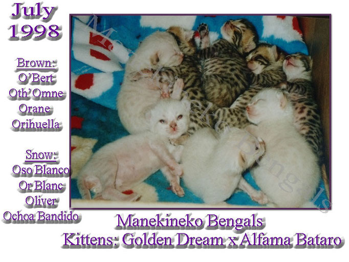 Kittens Manekineko Bengals born july 1998