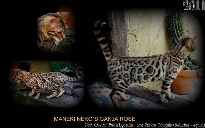 Manekineko Ganja Rose, female 2011, owner: castor saez les xanes bengals