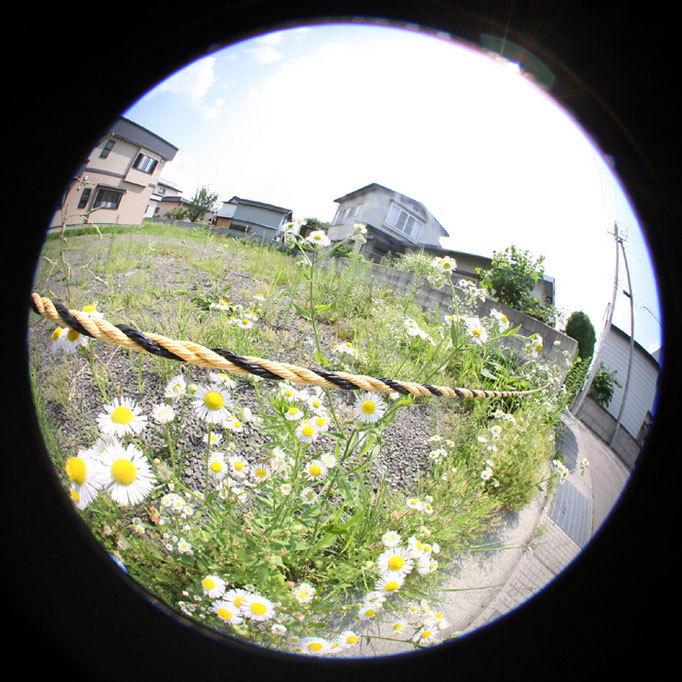 Wandering24/花を探す猛暑日/ヒメジオン