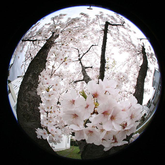 それすらも退屈な日々33/桜の夢の終わり