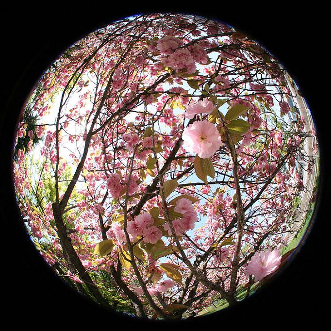 Wandering33/真面目に撮った八重桜