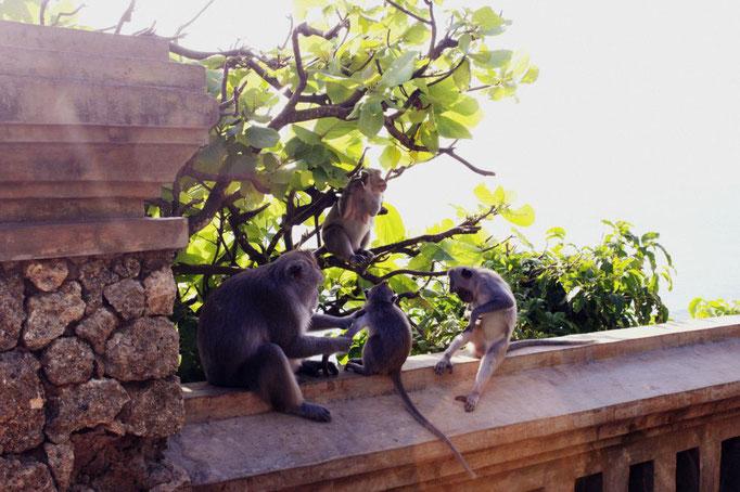 Freilebende Affen am Uluwatu Tempel