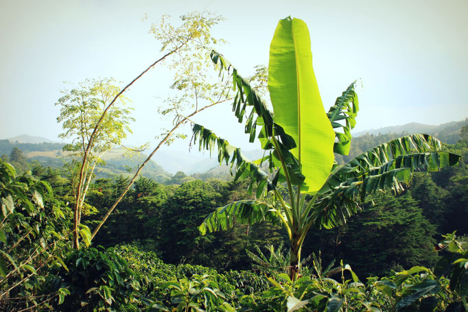 Kaffeeplantage in Monteverde, Costa Rica