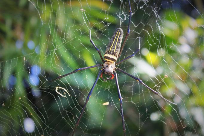 Tellergroße Spinne, Koh Samui, Thailand