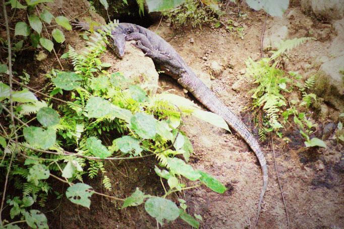 Tierischer Bewohner im Monkey Forrest von Ubud