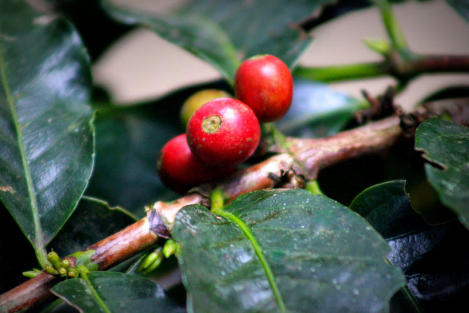 Kaffeebohne in Monteverde, Costa Rica