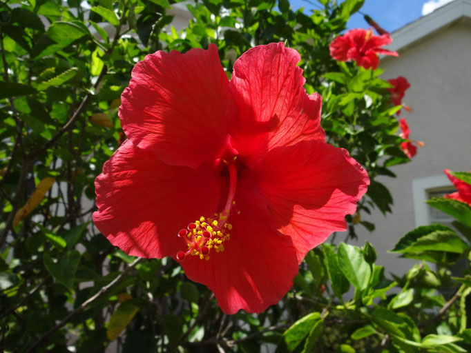 Villa Catch The Sun - Eine von vielen Hibiscusblüten