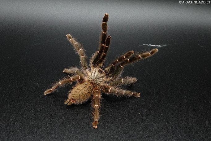 0.1 Pterinochilus murinus dcf botswana