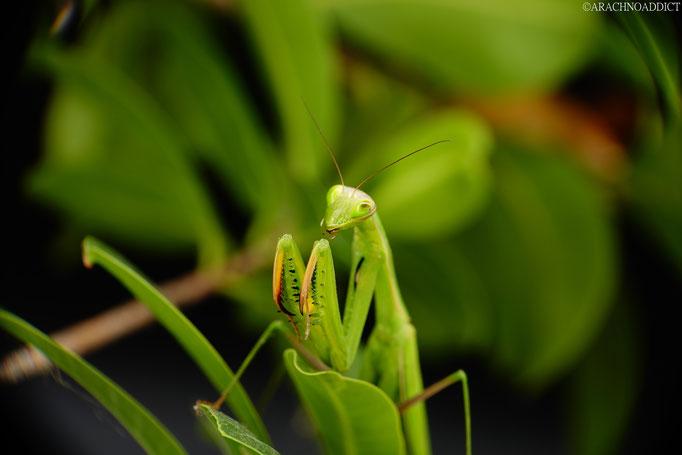 0.1 Mantis religiosa sinica