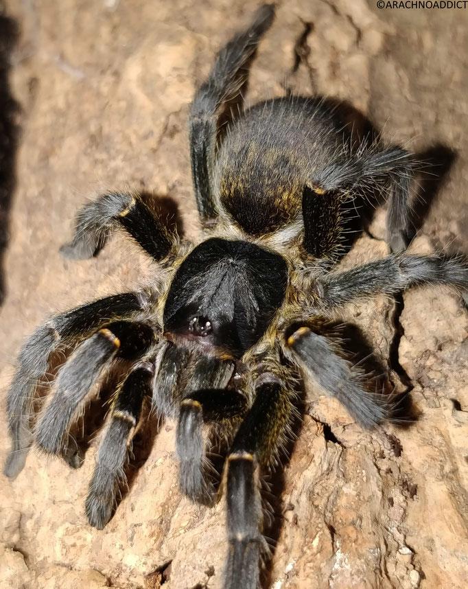 0.1 Harpactira sp. goldenblack