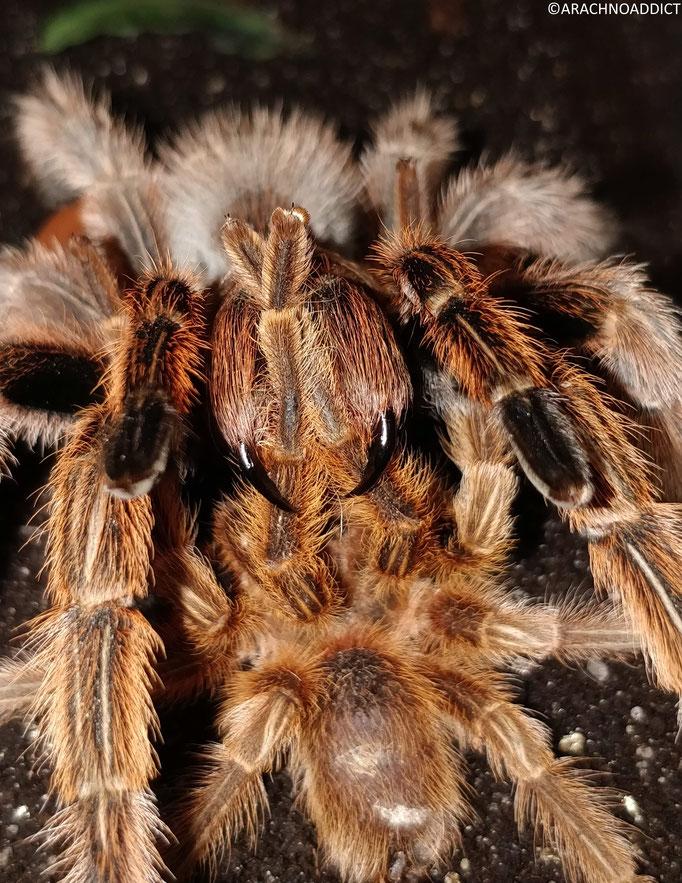 1.1 Grammostola rosea