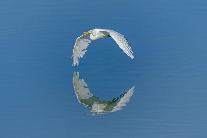 Silberreiher perfekt im Wasser gespiegelt