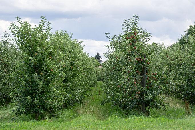 Spalier-Obstgärten im Alten Land (Größtes Obstanbaugebiet Nordeuropas)
