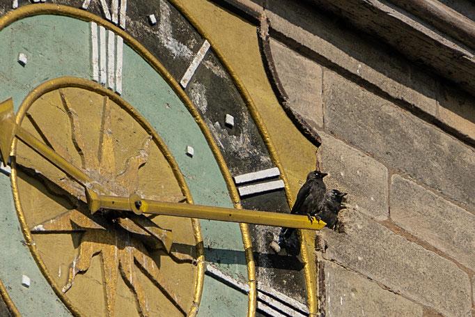 Zwei Dohlen sitzen in luftiger Höhe, der eine Vogel hat auf dem Minutenzeiger der Turmuhr Platz genommen der andere blickt aus der Maueröffnung in den Aischgrund