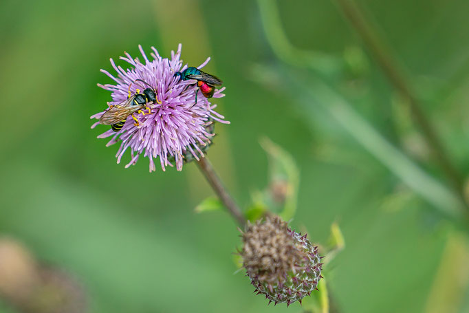 Farbenfrohe Insekten (Wespen) auf einer Blüte