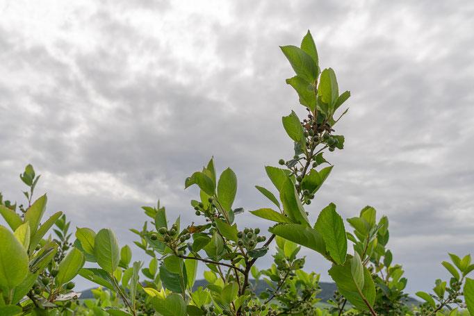 Aronia-Strauch mit Beerenbehang,  (herbsäuerliche Frucht)