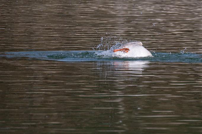Höckergans treibt kieloben im Teich