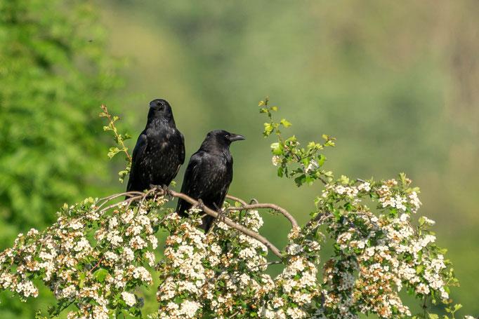 Rabelvögel