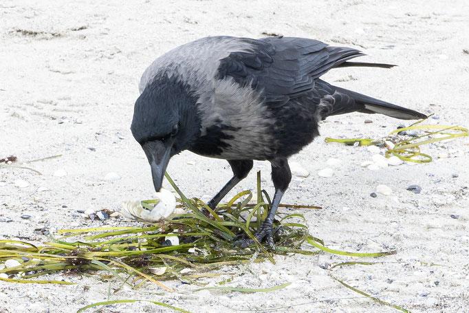 Nebelkrähen suchen am Ostseestrand bei Juliusruh nach Nahrung