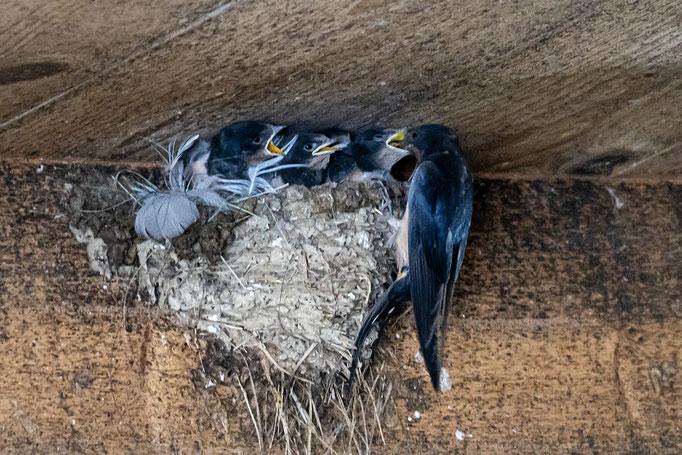 Junge Mehlschwalben werden gefüttert