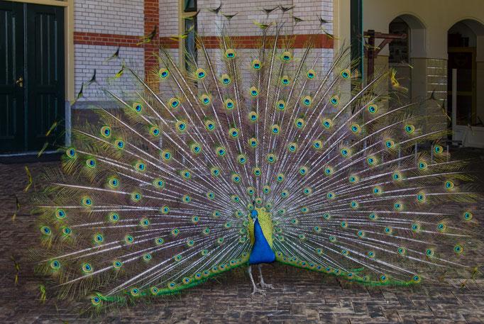 Palais Het Loo, Pfau (ein königlicher Vogel)