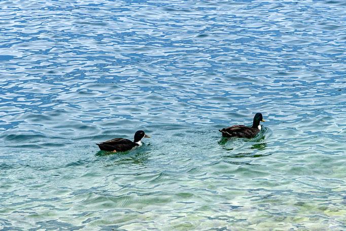 Alle meine Entchen schwimmen auf dem See ....
