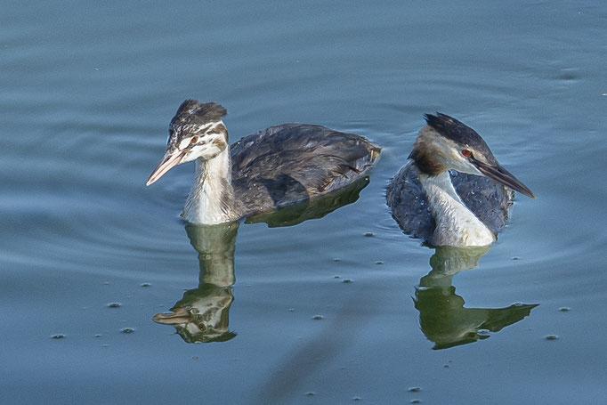 Haubentaucher, links der Jungvogel und rechts ein Elternteil