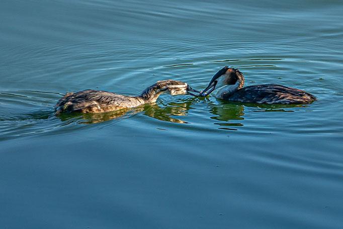 Altvogel übergibt einen gefangenen Fisch an den Nachwuchs