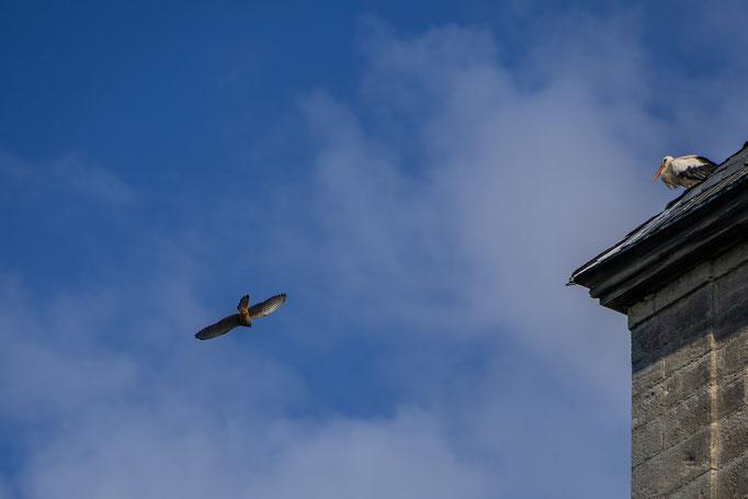Der Turmfalke zeigt dem Jungstorch seine rasanten Flugkünste
