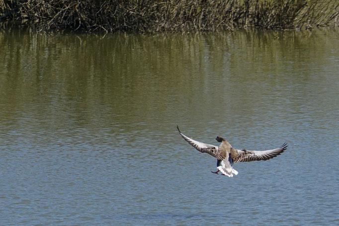 Graugans fliegt eine elegante Rechtskurve