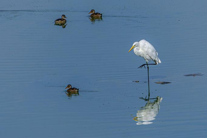 Silberreiher mit 3 Enten