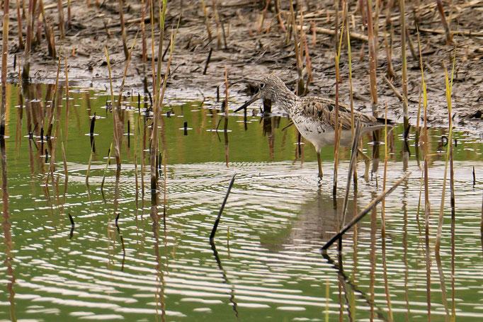 Strandläufer sucht im seichten Uferbereich nach Nahrung