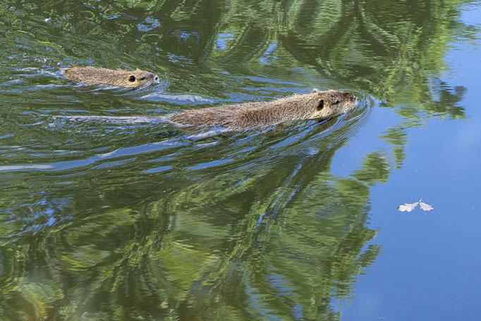 Mutter Nutria mit ihrem Jungen bei Schwimmübungen