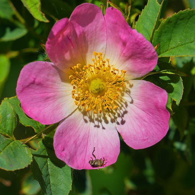 Heckenrosenblüten