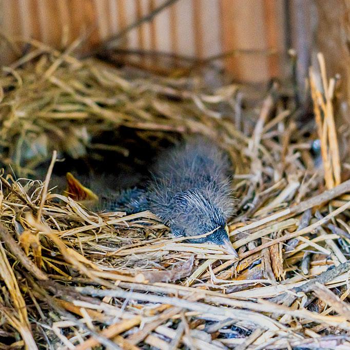 3 Jungebachstelzen im Nest