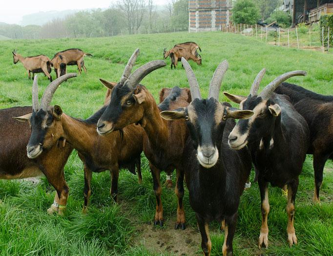 Die Ziegenherde des Monsieur Bernard (Besuch einer Ziegenfarm)