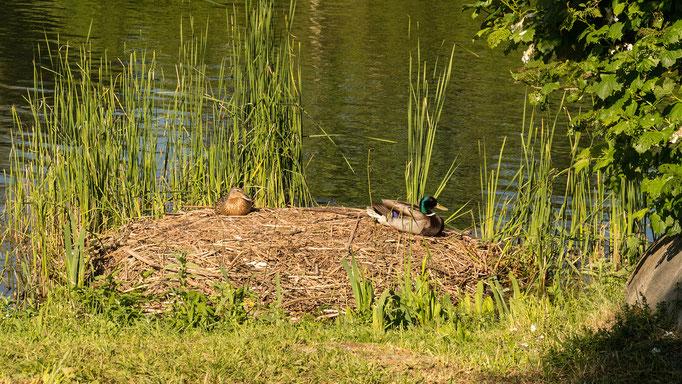 Familie Höckerschwan hat ihr Nest verlassen