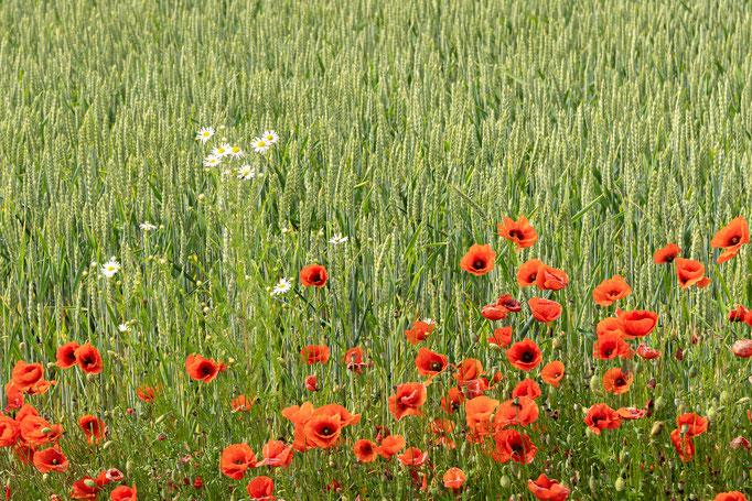 Klatschmohn am Weizenfeld