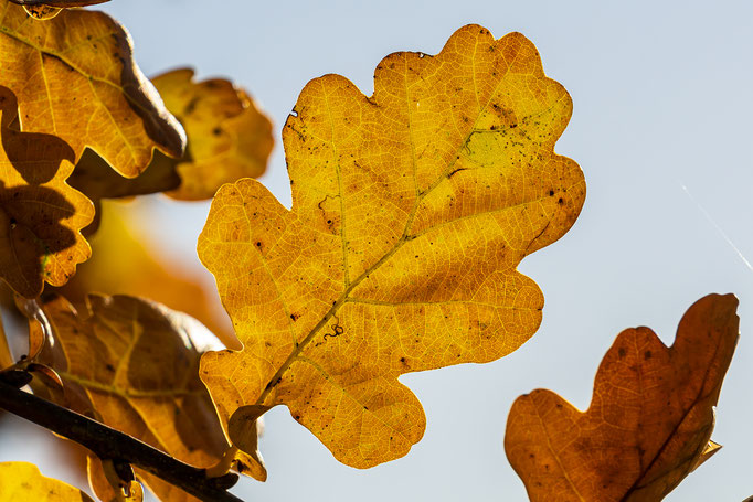 Ein wunderschönes farbiges Eichenblatt