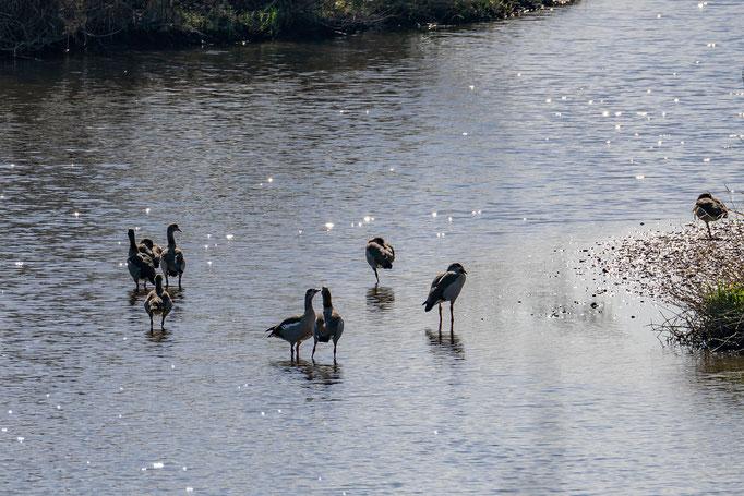 Wassservögel im seichten Altmain