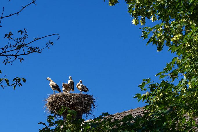 Störche in Diespeck, Gemeindehaus