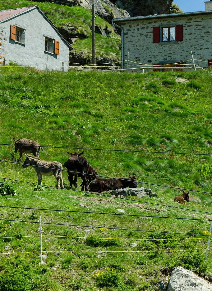 Eselherde am Bahnhof Alp Grüm