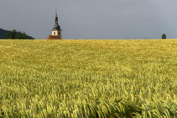 Weizenfeld, im Hintergrund der Kirchturm von Wiesenbronn