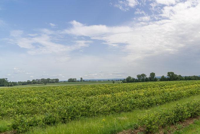 Aronia-Feld,  gesehen und fotografiert in Großlangheim