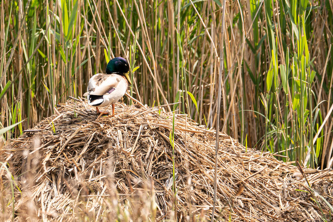 Stockente (Erpel) im Nest