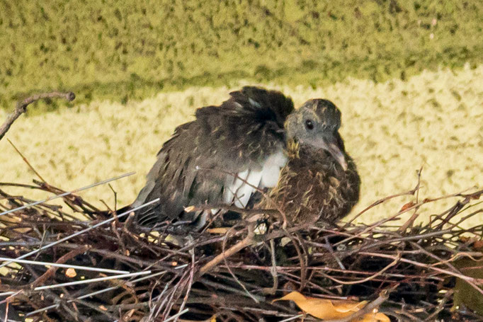 Junge Ringeltaube im Nest