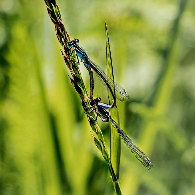 Libellensex ohne Ende