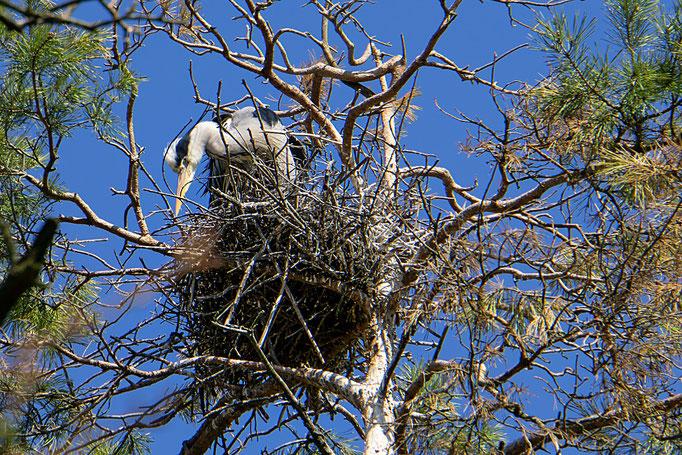 Graureiher im Nest
