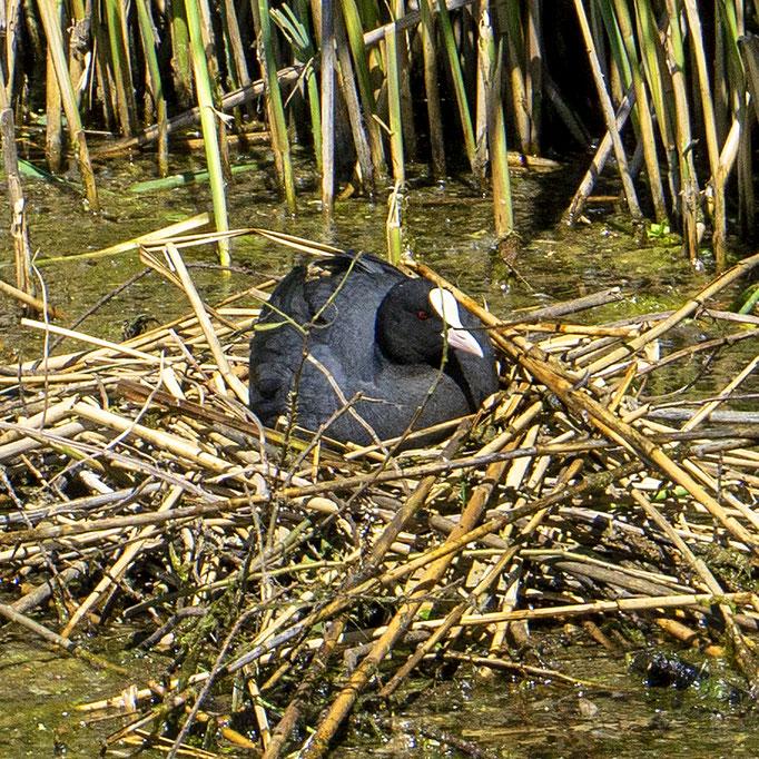 Ralle auf dem Nest